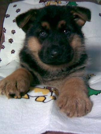 German Shepherd Puppy Sale