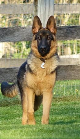 German Shepherd Male Puppy