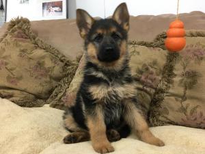 Black & Red Female German Shepherd Puppy