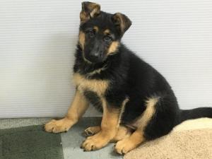 German Shepherd Black & Red Male Puppy